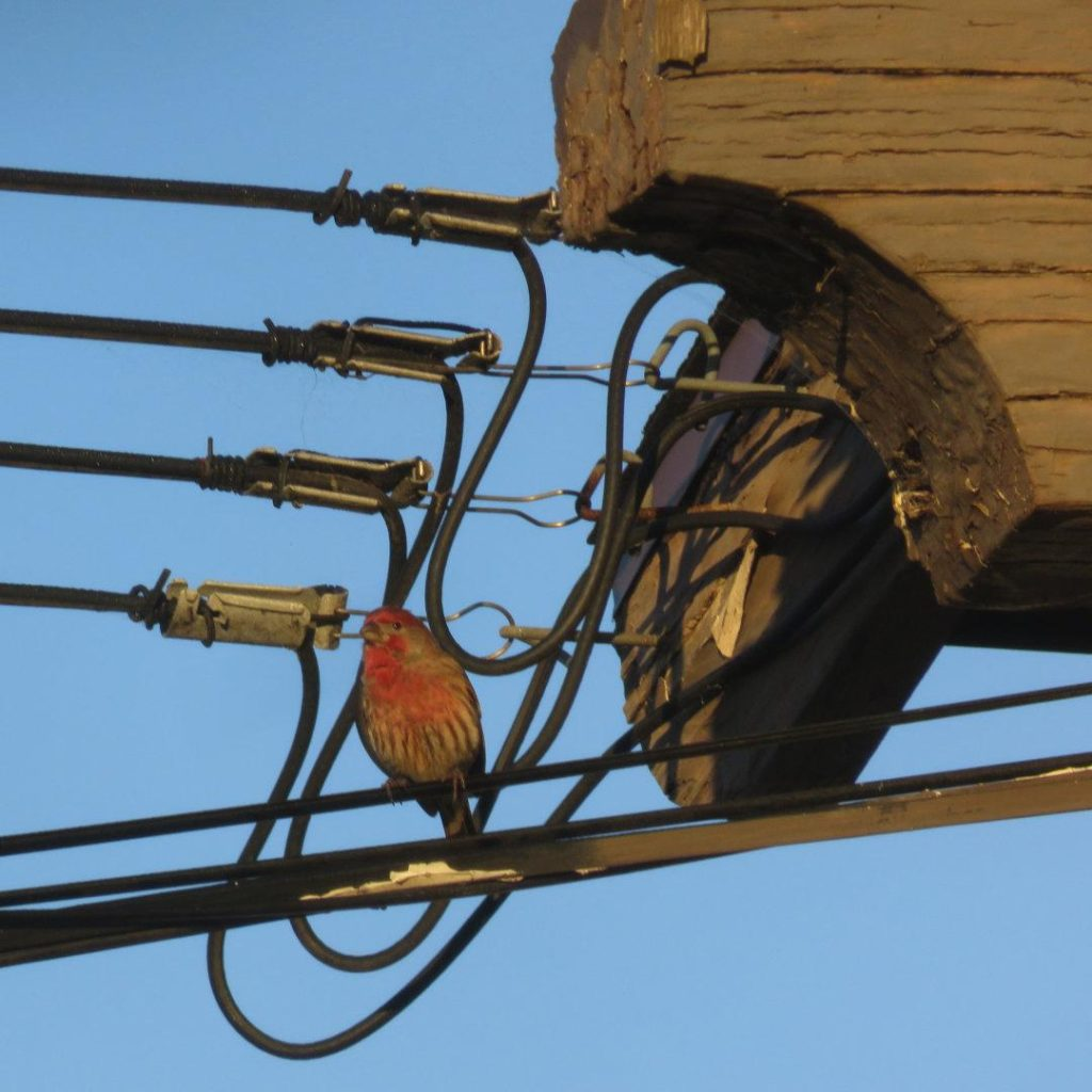 A small red bird perched on a cable where multiple power cables are connected to the edge of a roof.