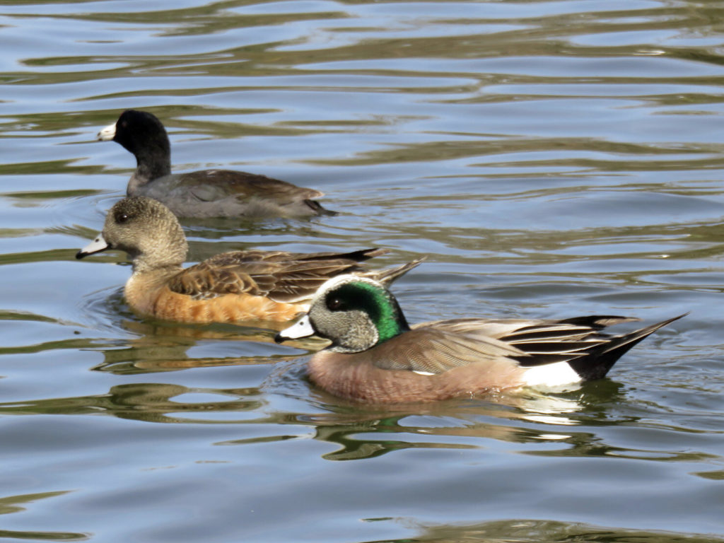 Two Wigeons and a Coot.