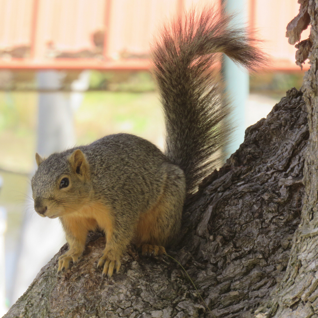 This fox squirrel was hiding at the base of a bush in a city park. ...