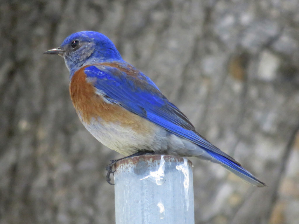 A small bird with a blue head and wings, orange breast, white belly and black beak and legs, perched on a post, facing left. The background is blurred rough bark.
