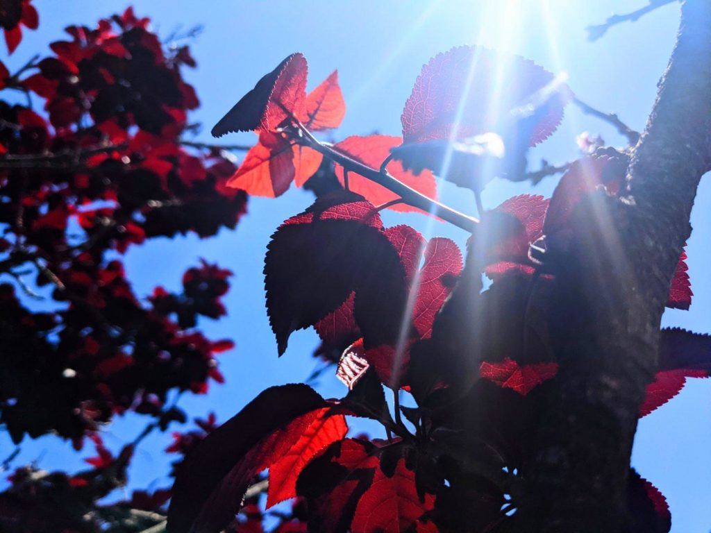 Tree branches covered in translucent deep red/purple leaves backlit against the blue sky and the sun.
