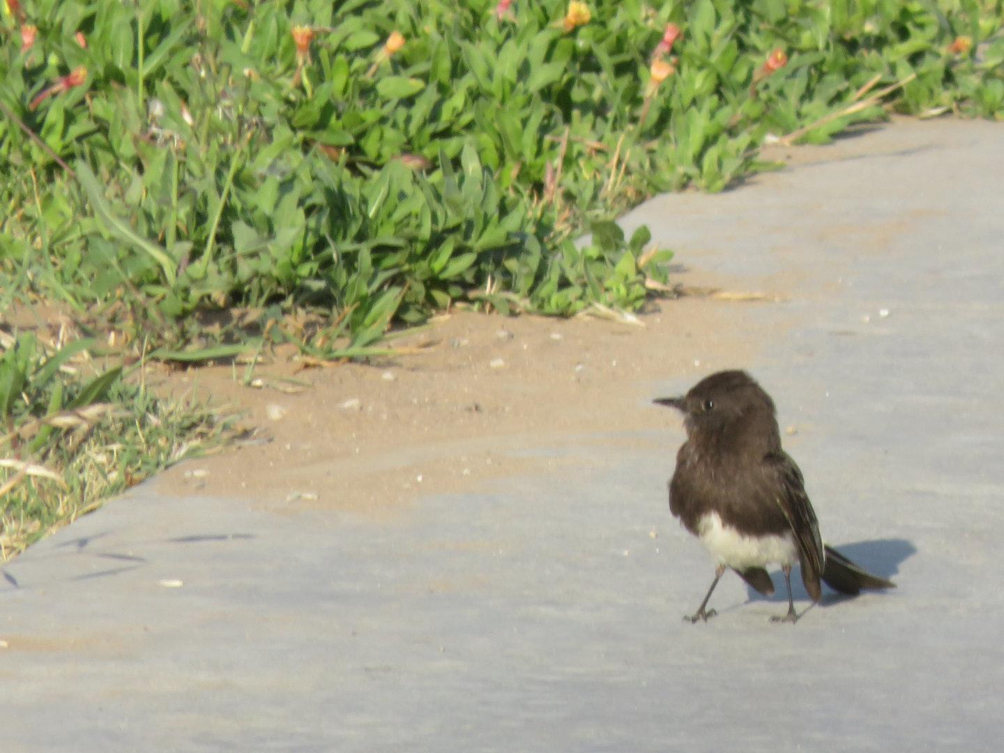 A Black Phoebe on the edge of the bike path not too far from the hawks in the previous picture. (