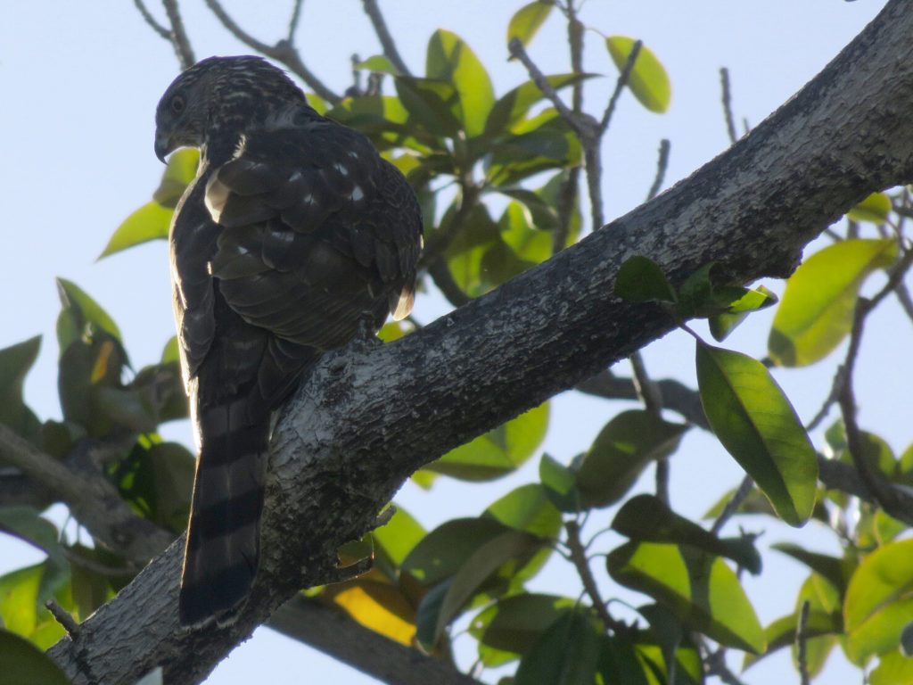 A medium-sized brown bird with black stripes on the tail, mottled white/gray on the wings and head, yellow eyes and a sharp, hooked beak, perched on a tree branch and backlit with sky and green leaves behind it.