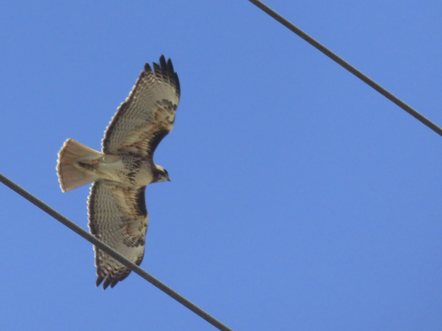 A red-tailed hawk spotted along the bike path today. It flew up to an electrical ...
