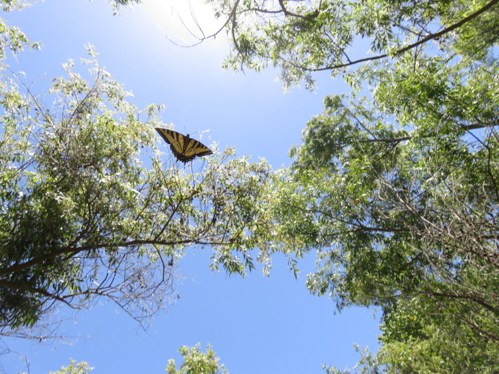 A butterfly with yellow wings outstretched, black along its body and wing edges and stripes , seen backlit against the sky and leafy tree branches.
