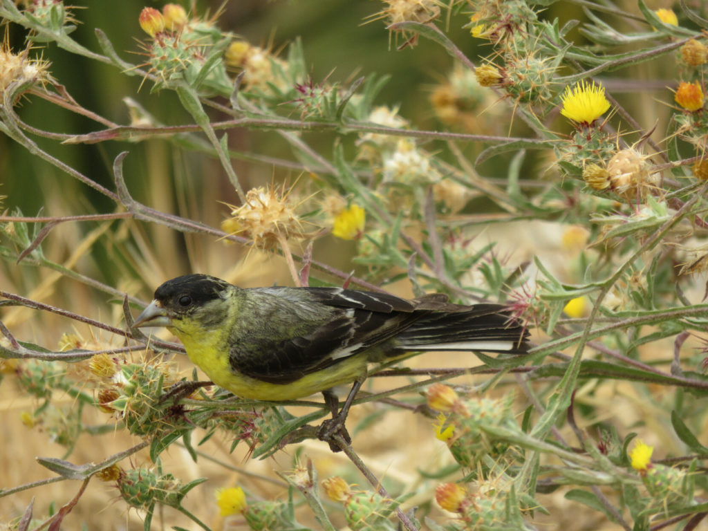 A small bird, black on top and yellow below, with a short thick beak, perched among the stems of a plant with spiky seed pods and yellow flowers.