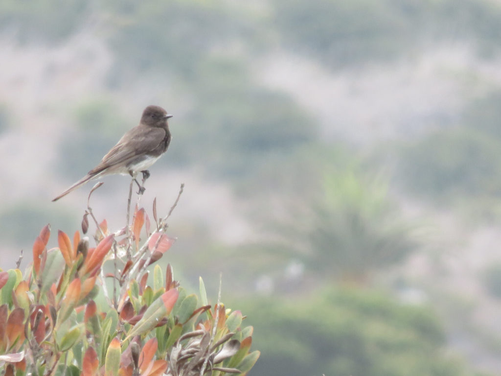 A small black bird with a white belly and a short, narrow beak, perched on top of a bush in front of a blurry brown and green background.