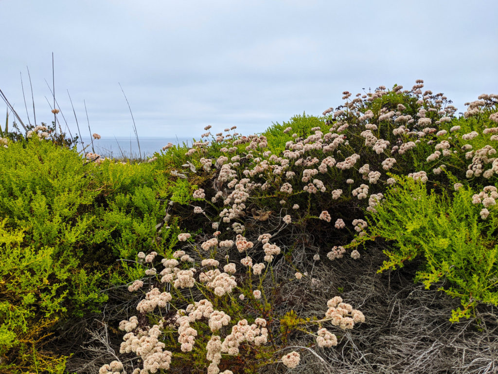 Lacy green leaves and white flowers on a small rise with a gloomy sky and tiny sliver of ocean in the background.