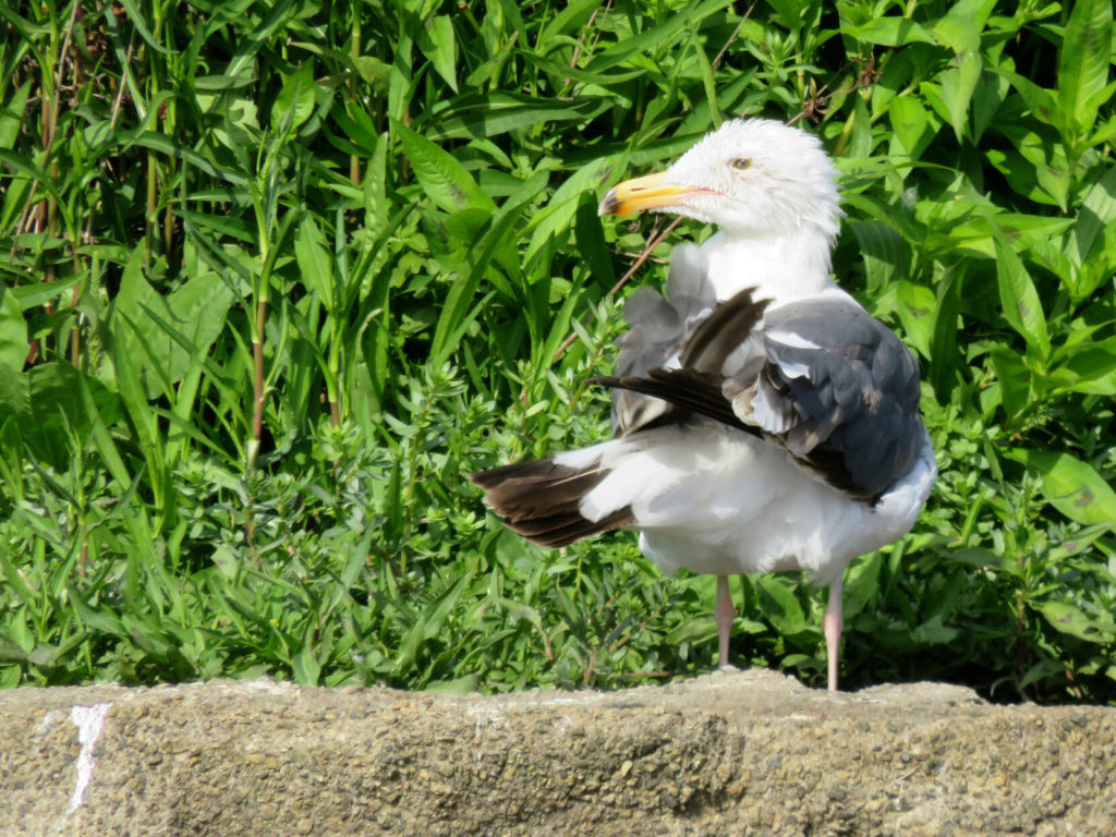 A seagull, white body and head with gray wings, yellow beak and black tips on its wing and tail feathers, standing in front of greenery and moving its wings in a way that looks like a human brushing their hands together.