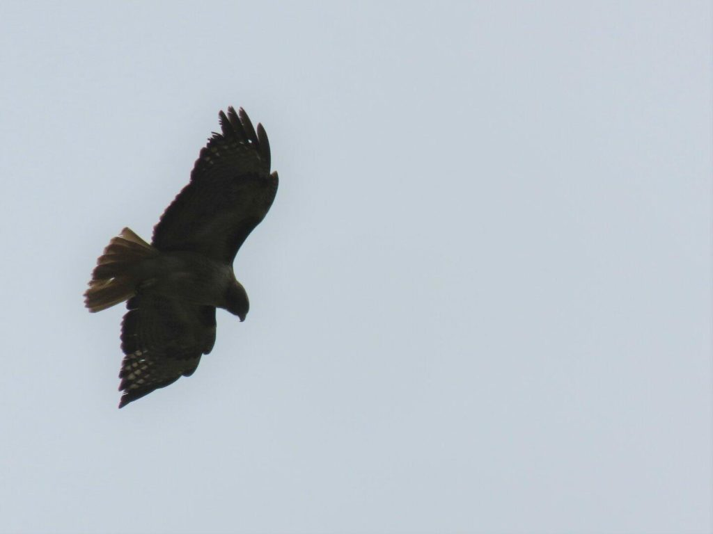 Looking up at a hawk in the sky with its wings stretched out.