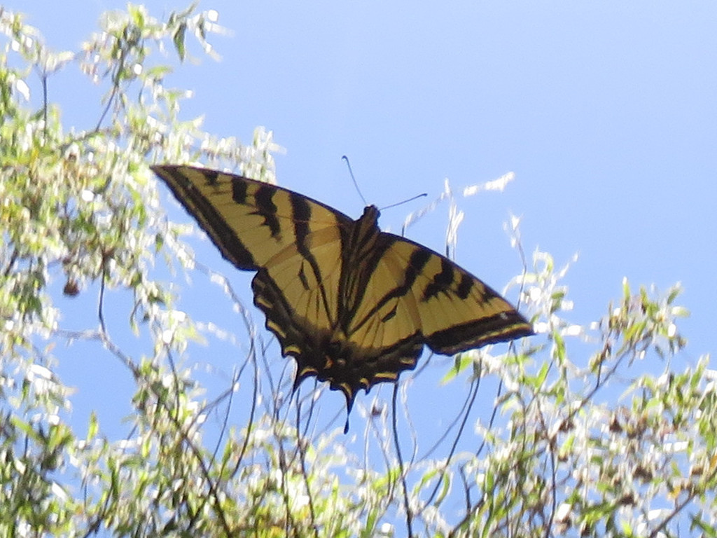 Common Swallowtails