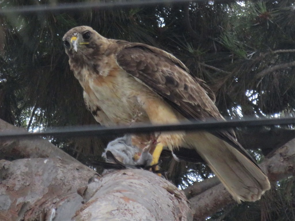 The same hawk from another angle, looking up from its meal in the direction of the camera. Two cables run across the frame, not quite blocking the view.