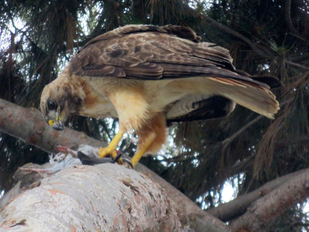 A hawk with light brown underside and darker brown wings, perched on a thick tree limb with branches and pine needles behind it, holding the remains of a smaller (dead) bird to the trunk with its claws, leaning over with its hooked beak.