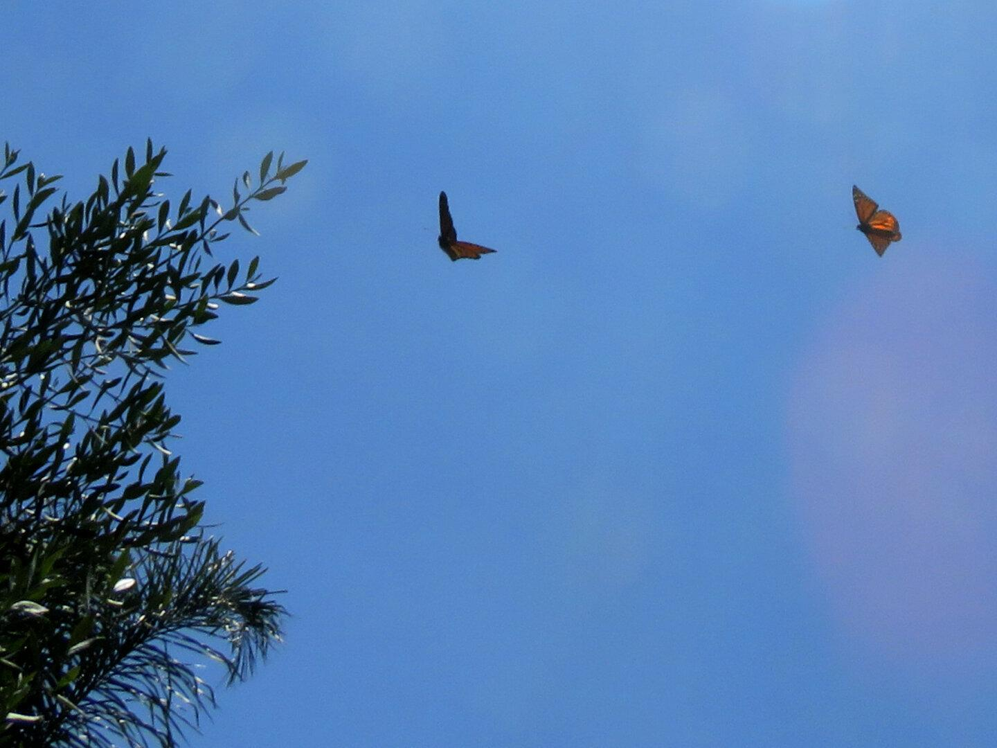 Two monarch butterflies flying around and chasing each other (slowly) down the block.