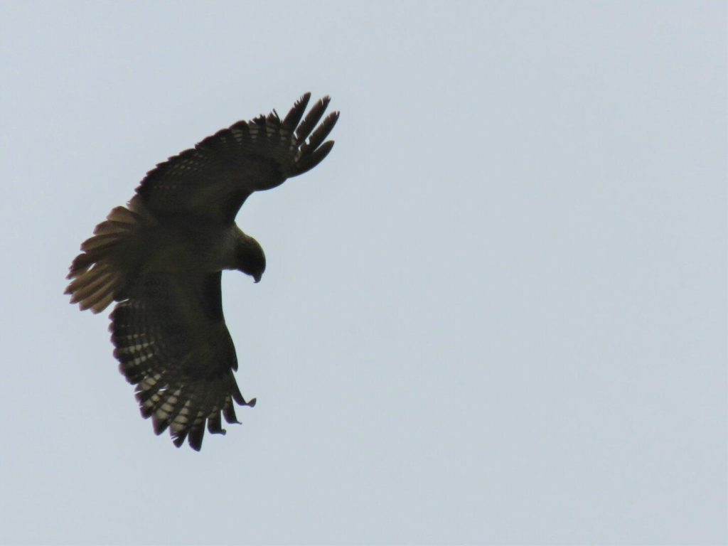 Looking up at a hawk in the sky with its wings stretched out and forward.