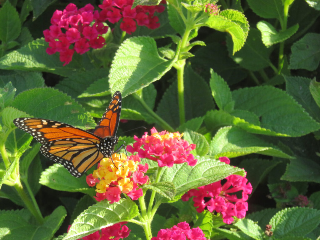 A butterfly with a bright orange wings divided by black lines, with a black body and white spots, spreading its wings while perched on a cluster of tiny yellow and pink flowers with green leaves in the background.