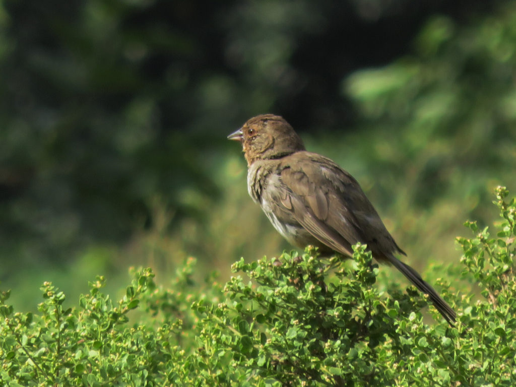 A smallish brown bird, sparrow-like, with a short narrow sharp beak, perched on top of some plant with very small leaves, against a mottled green background.