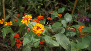 A black butterfly with one orange band and a splash of white on each wing, perched on a globular cluster of orange/yellow flowers, surrounded by leaves and more flowers.