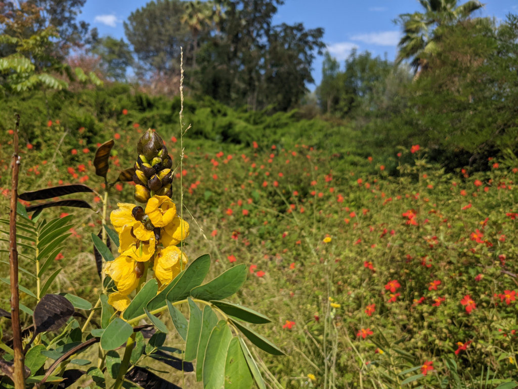 Stalk with bright yellow flowers against a blurry background of green shrubs with red flowers, trees and sky.