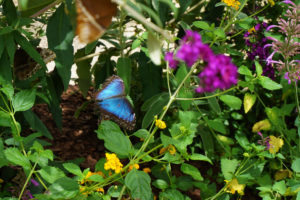 A bright blue butterfly with black edges on its wings, which are wide open, flying past shady leaves and flowers.