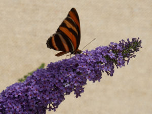 An orange and black banded butterfly on a conical stalk of tiny purple flowers.