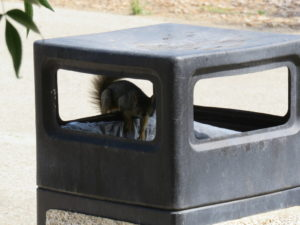 A squirrel caught in the act of climbing into an outdoor trash can, shadowed, but looking at the camera.