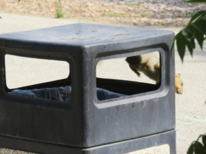 A squirrel jumping down from the trash can.