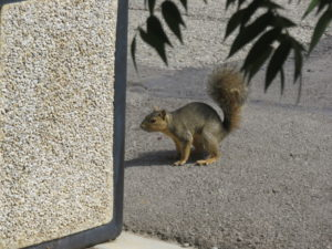 A squirrel on the ground next to the trash can, mid-bound.