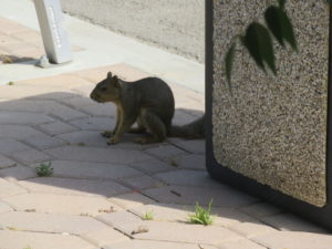 A squirrel on the ground next to the trash can, pulling itself up in an awkward position.