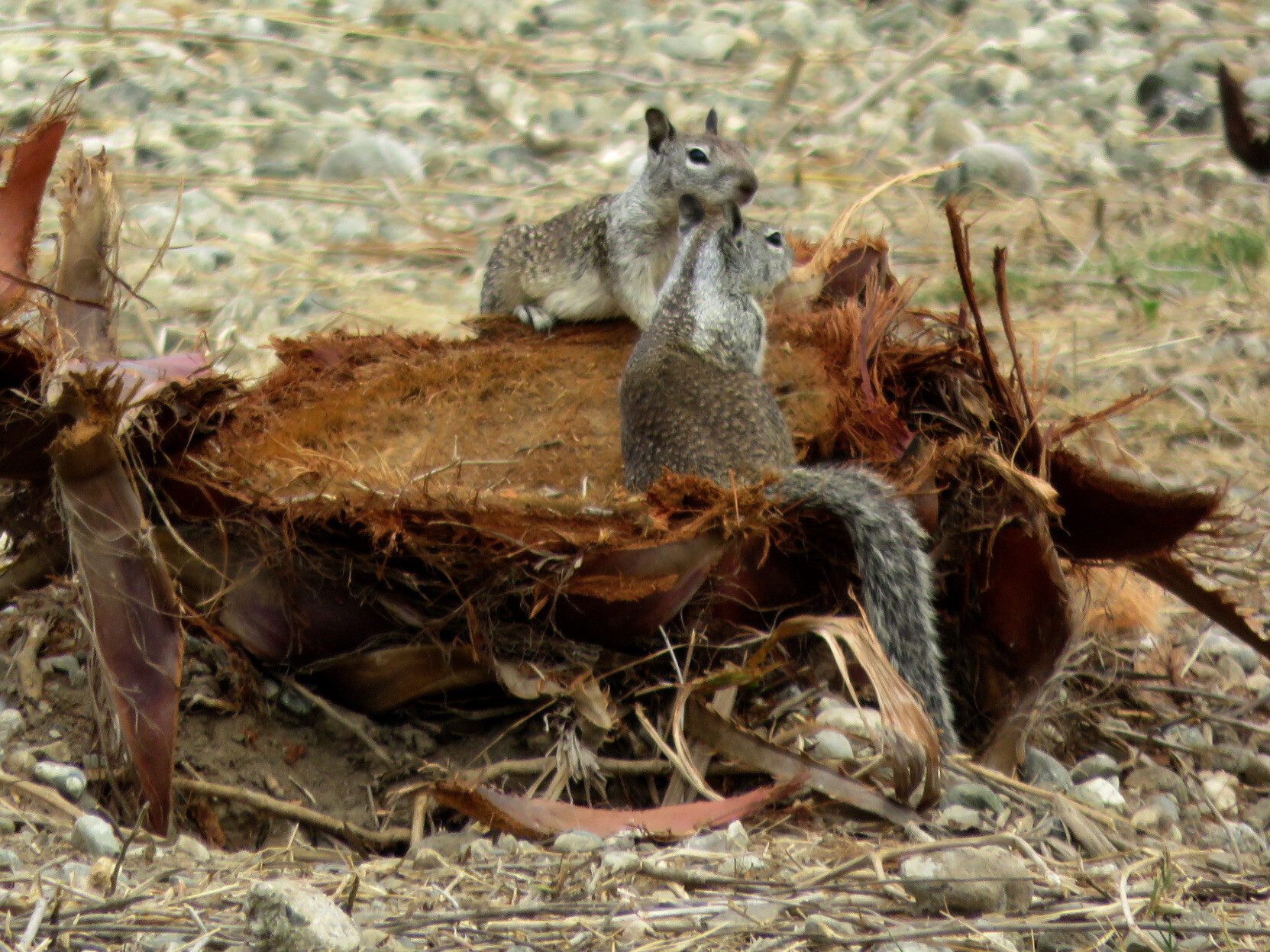 Two ground squirrels, light brown and gray, with mottled patterns on their backs and narrow tails, sitting on a palm tree stump.