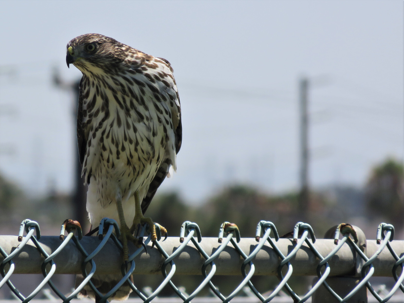 A brown and white hawk perched on a chain link fence, seen roughly on a level, with blurry trees and telephone poles in the background.