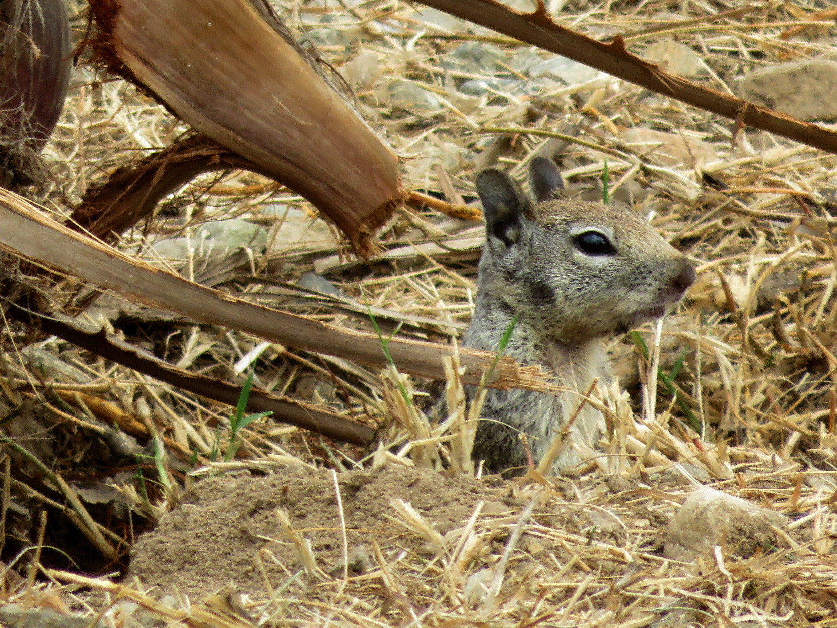 A California Ground Squirrel, light brown and gray, poking its head out of a burrow surrounded by dried grass.