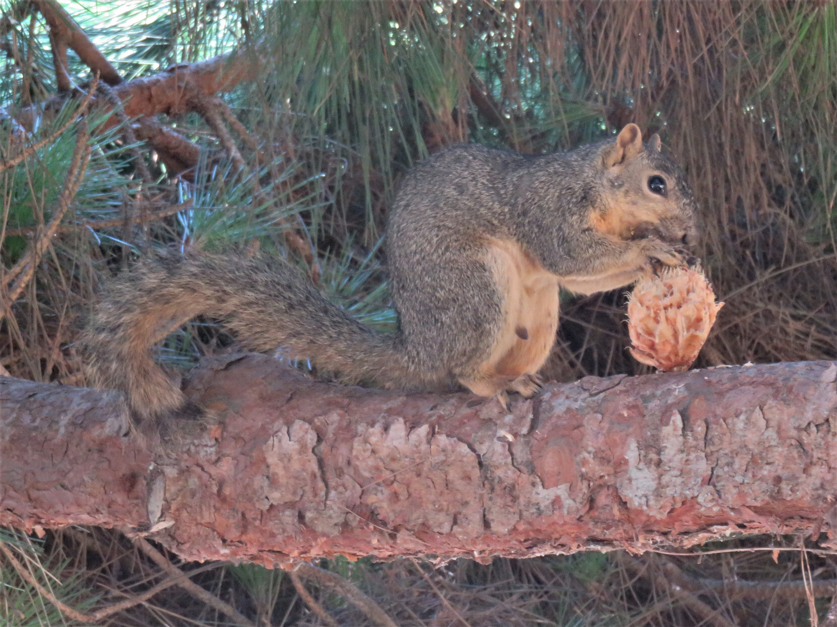A brownish squirrel with a bushy tail perched on a pine tree branch and eating a cone.