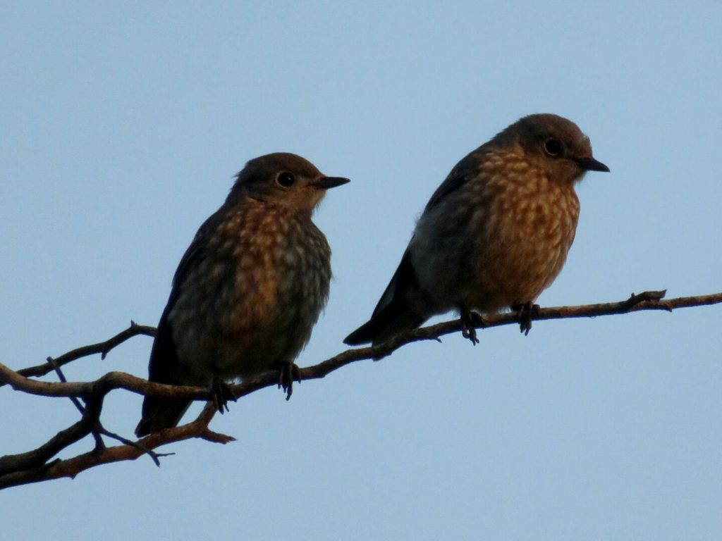 Two small birds on a twig, lit from the side, a dull blue sky in the background.
