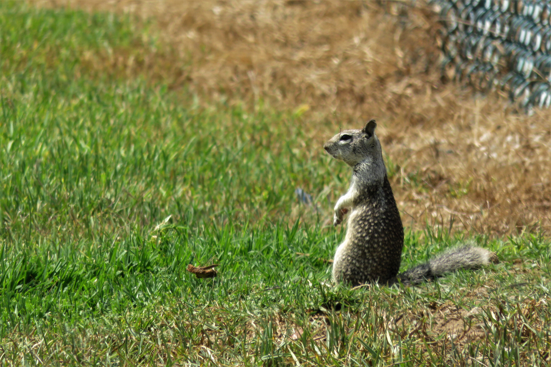 A light gray squirrel with a mottled coat standing up in the grass in front of a fence, looking into the distance.