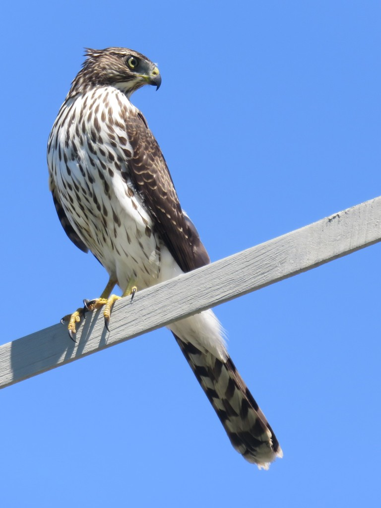 A brown and white hawk with a yellow hooked beak and hellow talons perched on a narrow beam against a blue sky.