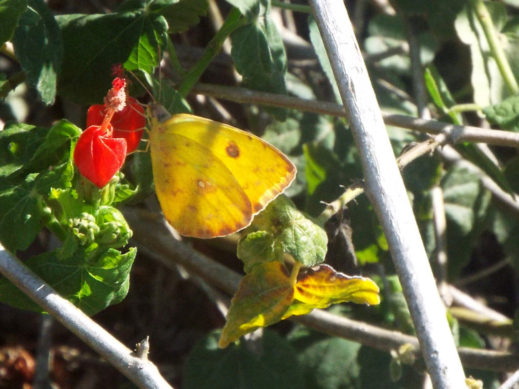 A yellow butterfly with a few dark spots perched on a small red flower with its wings closed.