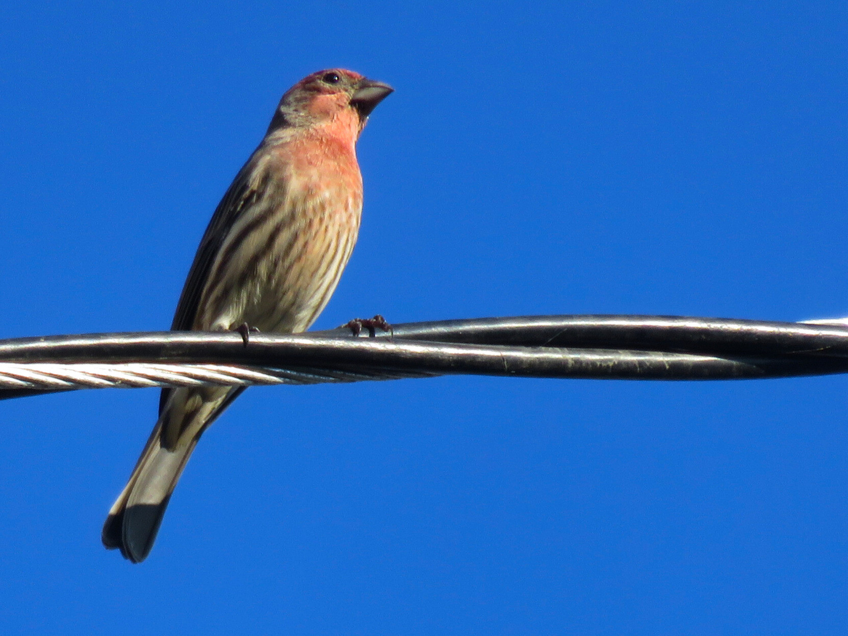 One of MANY house finches I heard before turning a corner and seeing them. #birds ...