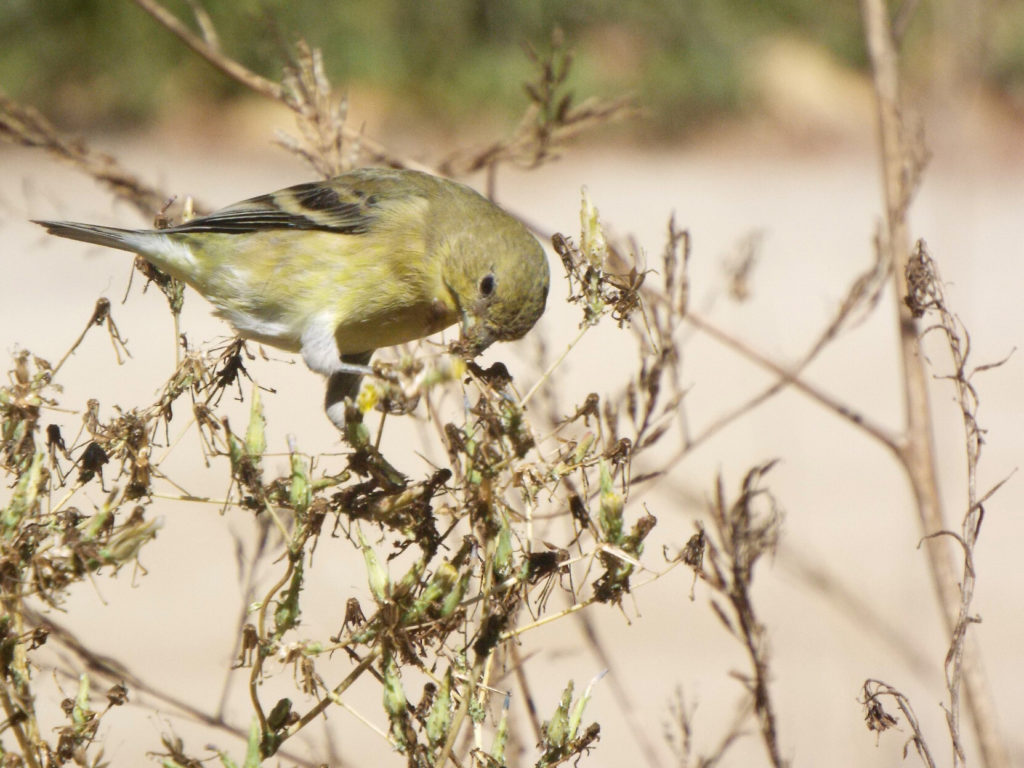 A pale yellow/white/brown bird perched on a dry bush, grabbing at what might be seeds with its beak.