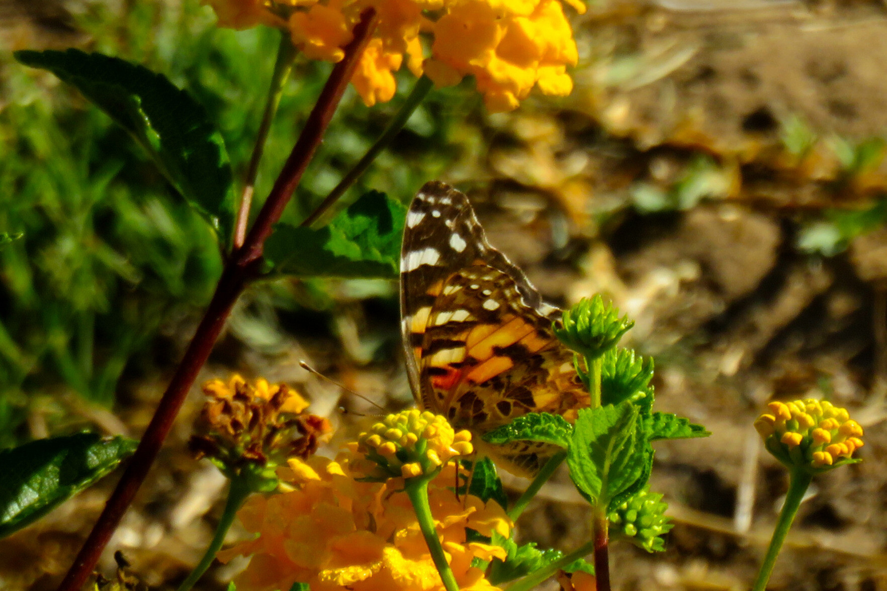 A painted lady (or related) #butterfly seen while out walking today.#photo #nature