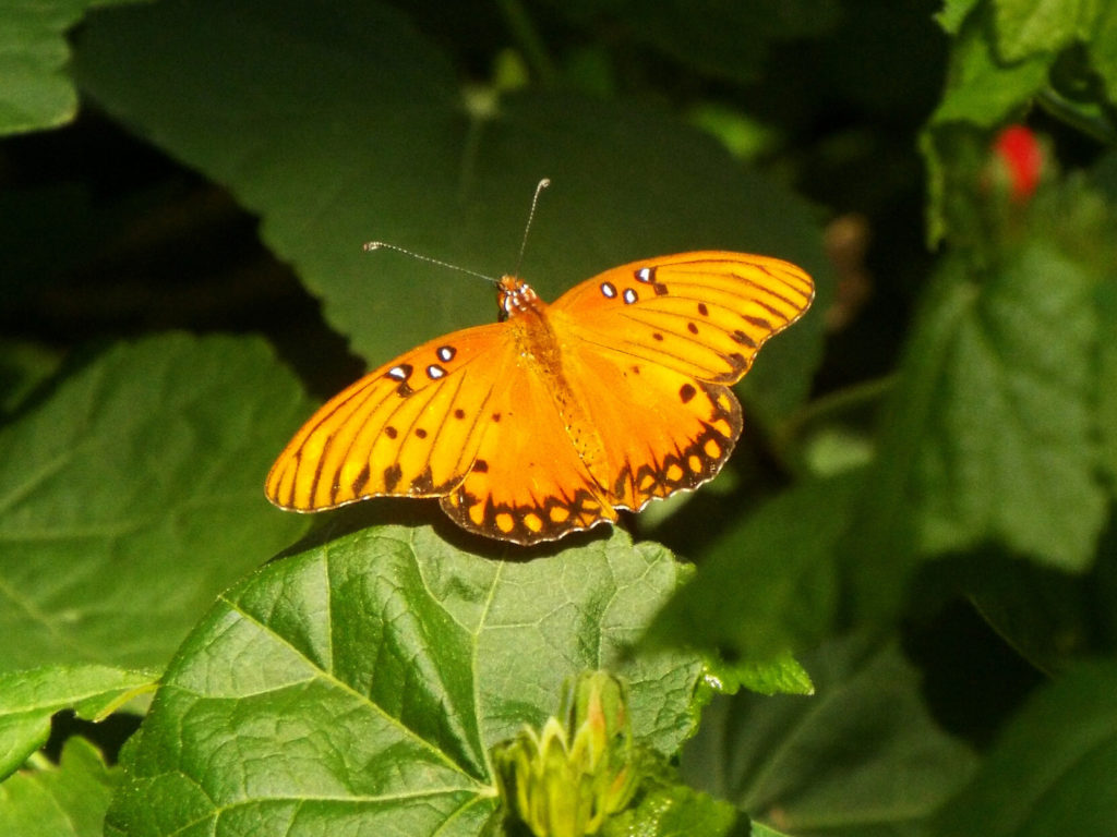 A bright orange butterfly with narrow black stripes and a few white spots outlined in black, perched on wide green leaves with its wings open.