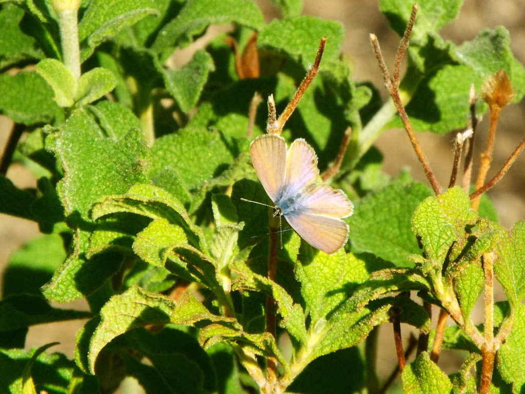 A very small butterfly with brown wings and blue body perched on a plant with crinkly green leaves.