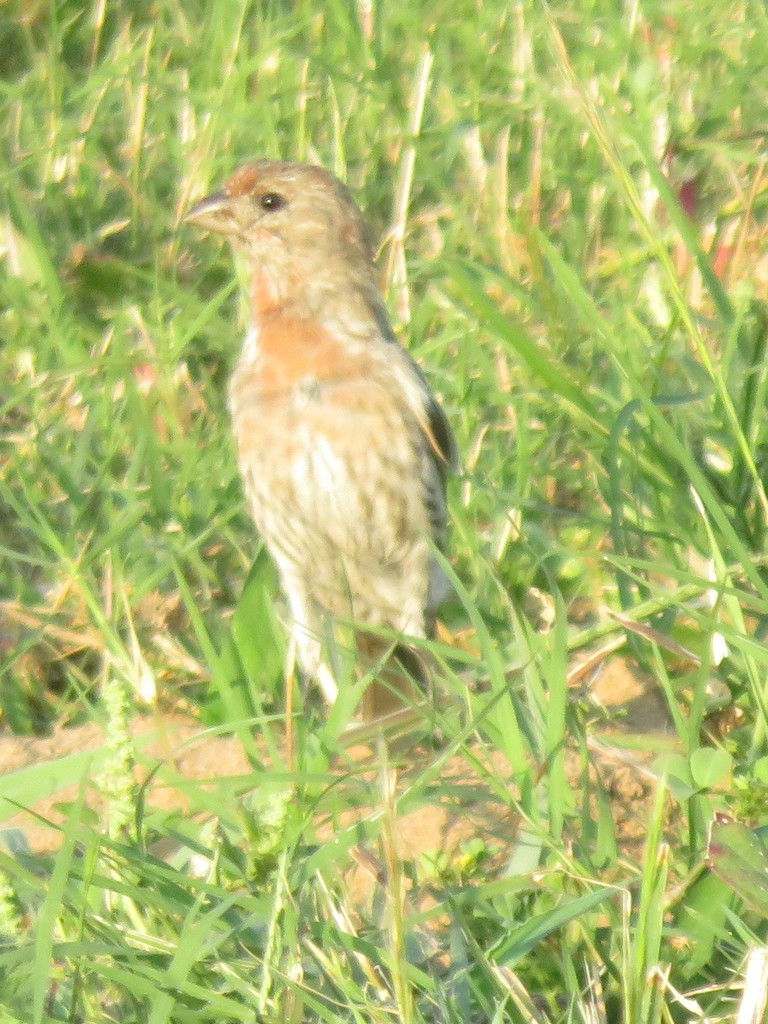 House Finch (in grass)
