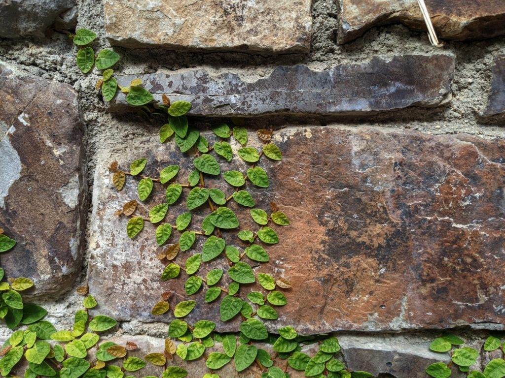 A spreading vine with tiny green leaves working its way across a wall of stone bricks, seen close up.