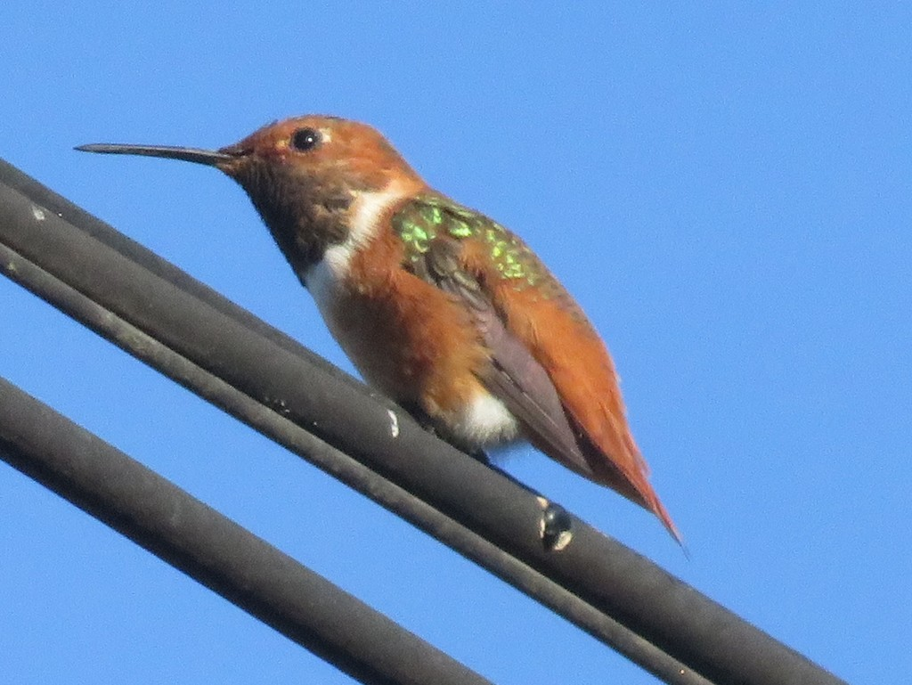 Rufous, Allen's, and Allied Hummingbirds