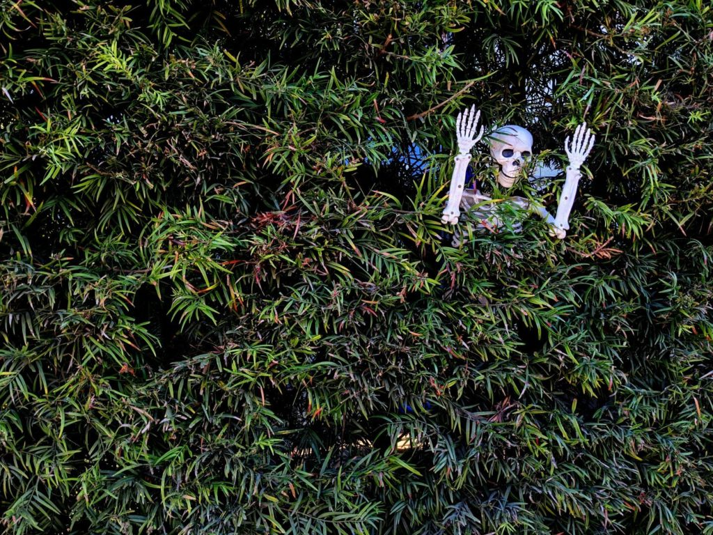 A hedge with green leaves, the top of a plastic skeleton visible through a gap in the leaves.